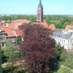 Blutbuche im Schlosspark Jever